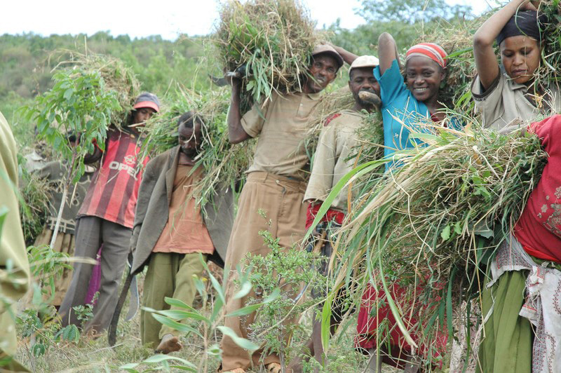 A lineup of people carry grassy fodder out of the woods to feed their cattle. One woman is smiling.